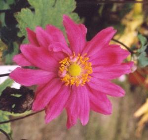 anemone bressingham glow Margaret McKendrick