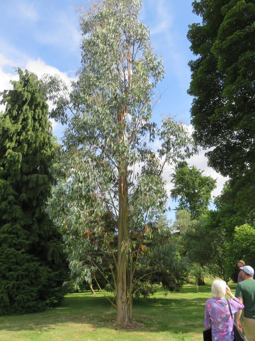 eucalyptus Hart-Dyke
