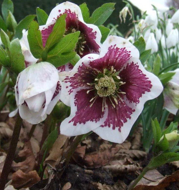 helleborus, broadview, hadlow college