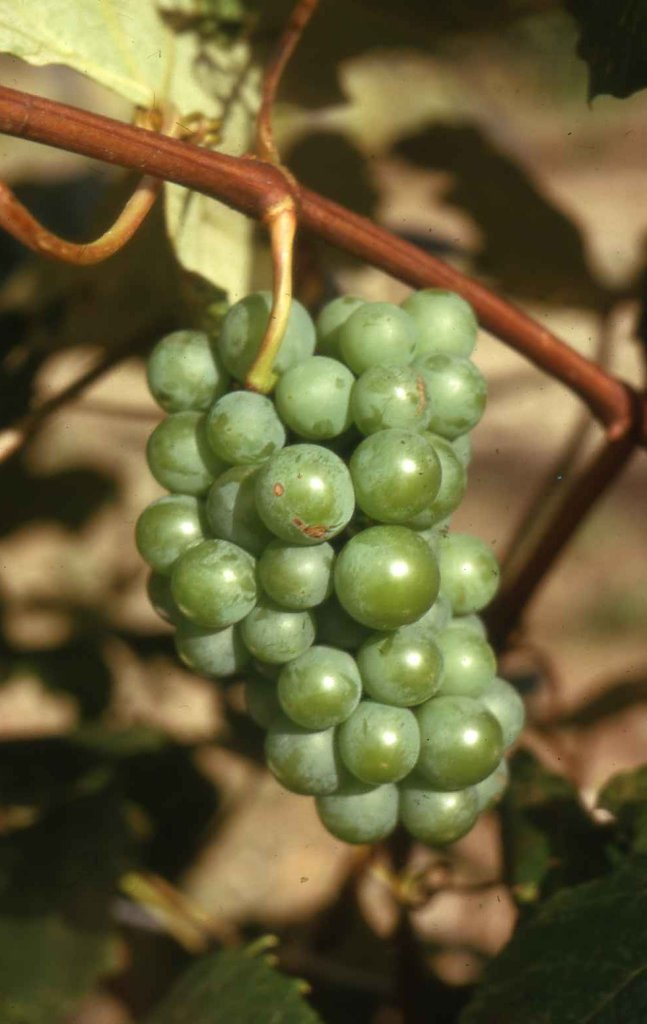Grape Senecav